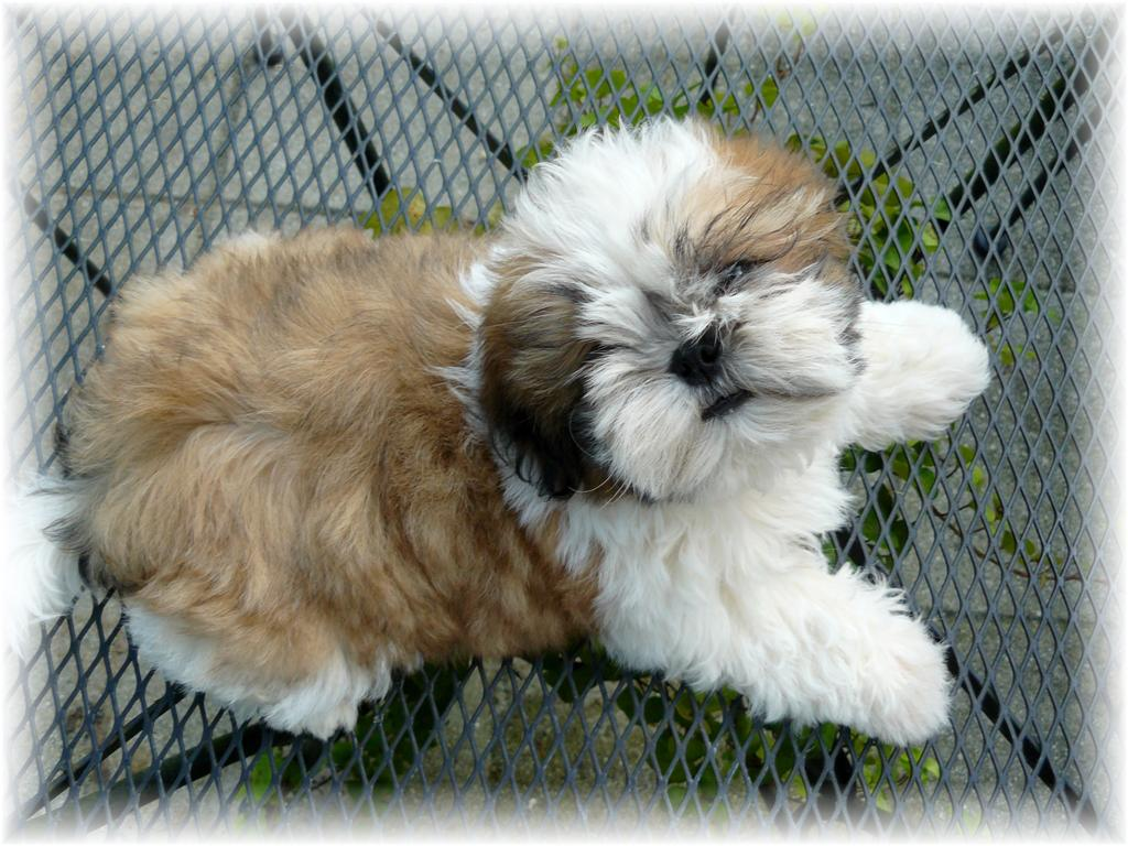 official top of the line show quality shih tzu puppies in ga al tn nc sc fl by show breeders
