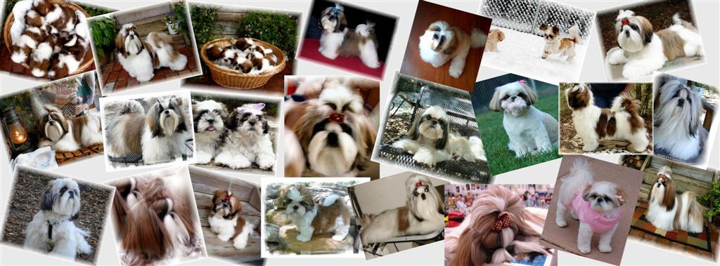 gold red white champion beautiful shih tzu in ga for sale in ga al nc sc tn fl collage background