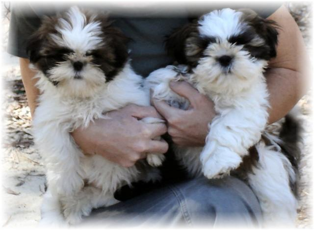 Georgia red white shih tzu puppies for sale by breeders in ga fl al tn nc south carolina