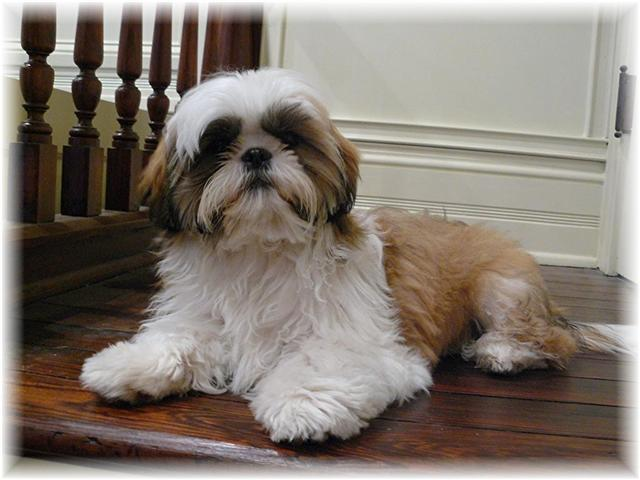 shih-tzu-puppies-for-sale-by-breeders-in-ga-fl-al-tn-sc-nc