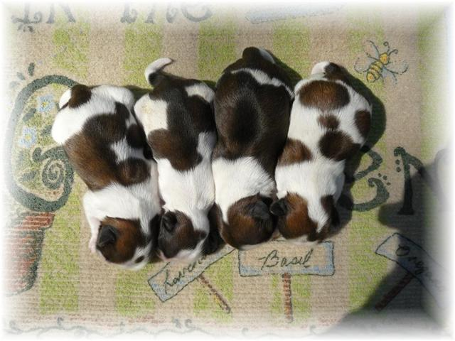 GA SHIH TZU - Shih Tzu puppies for sale in Georgia FL AL TN