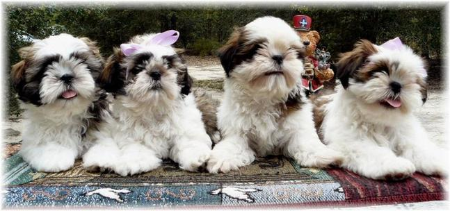 Georgeous shih tzu in ga fl al tn nc sc