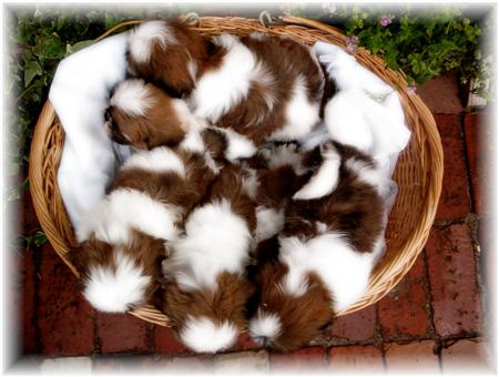 GA shih tzu red white male female shih tzu puppies for sale by breeders in atlanta ga fl al tn nc sc