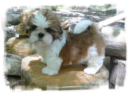 gold white ziggy puppy shih tzu puppies for sale by breeders in ga fl al tn nc sc