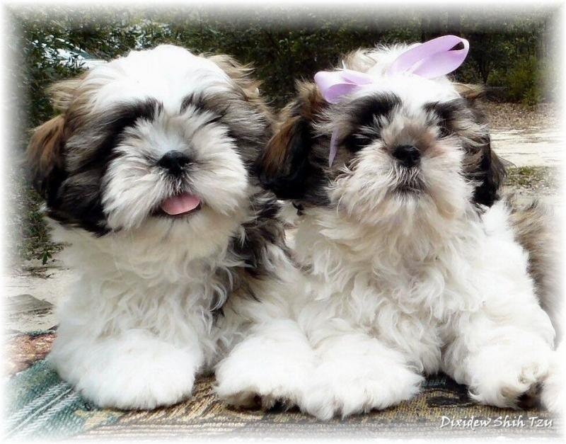 Shih Tzu Puppies White And Gold | www.pixshark.com ... Gold And White Shih Tzu Puppies