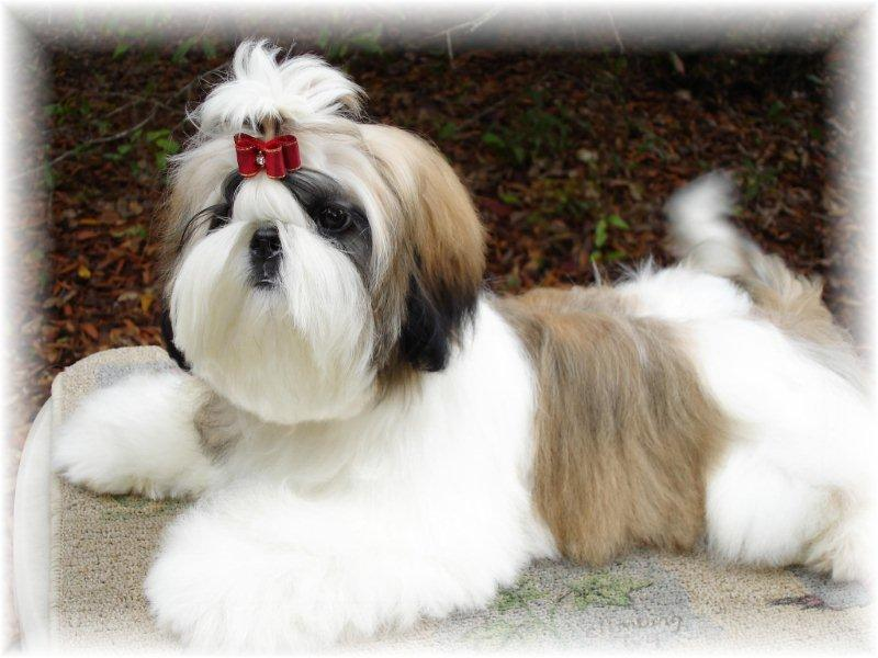 beautiful gold and white Shih Tzu Florida shih tzu puppies for sale by breeders in ga fl al tn nc sc