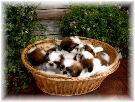 Official AL FL red and white shih tzu puppies for sale by breeders in ga fl al tn nc sc