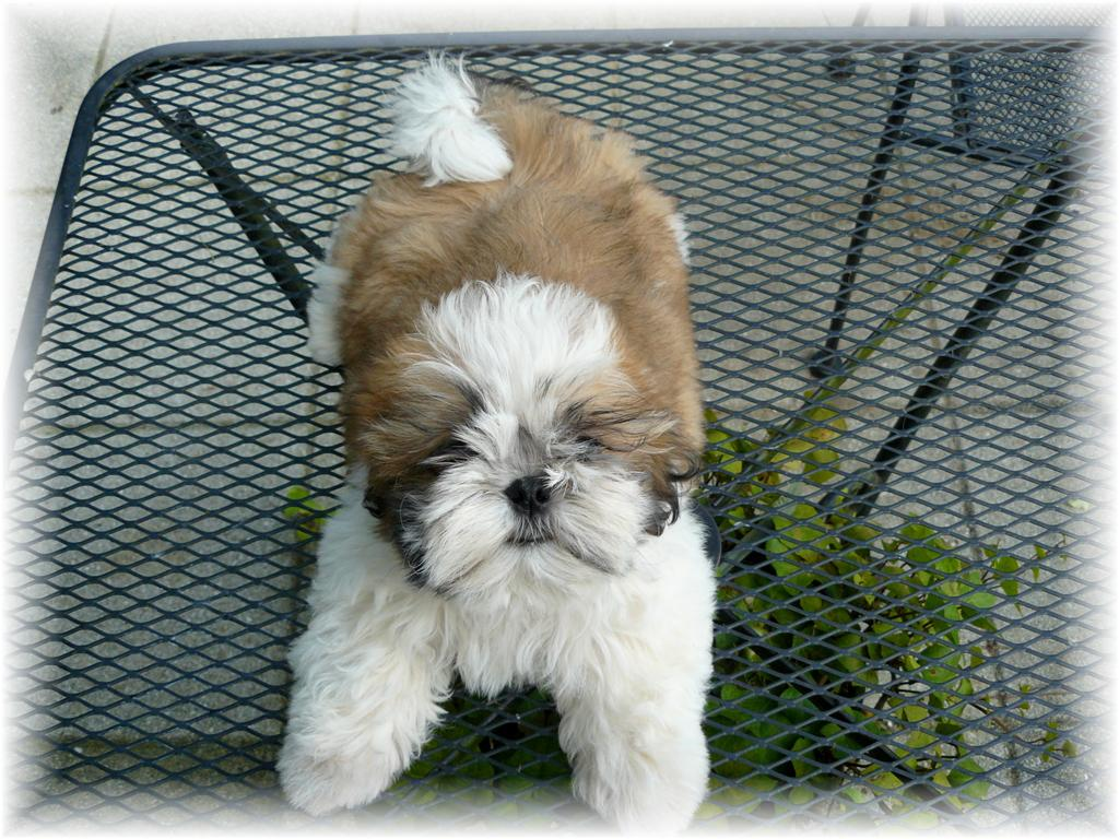 superior shih tzu puppies in fl ga al sc tn nc