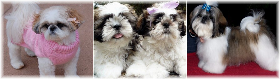 GA FL champion purebred shihtzu puppies in georgia florida alabama tennessee north carolina south carolina