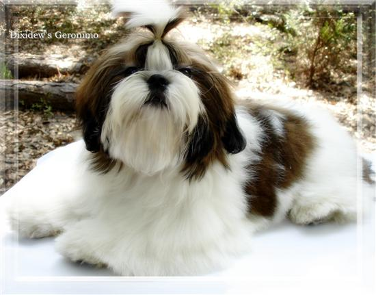 GA FL red and white black markings shih-tzu puppies in ga fl al tn nc sc