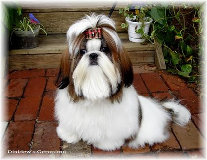 red white geronimo shihtzu puppies for sale by breeders in ga fl al sc nc tn