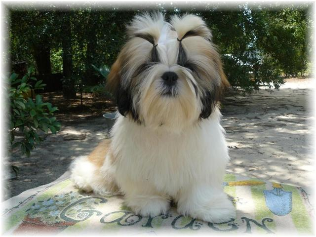 commotion puppy gold white shih tzu puppies for sale by professional breeders in ga fl al tn nc sc 2